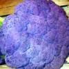 Conopida violet