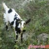 Laptele de capra, substituentul perfect al laptelui matern