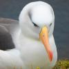 Albatrosul de aur